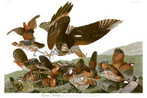 John_James_Audubons_Plate_76_-_Birds_of_America_(Virginian_Partridge)